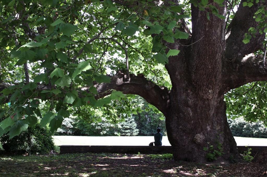 350-year-old sycamore tree 樹齢350年のプラタナスの木