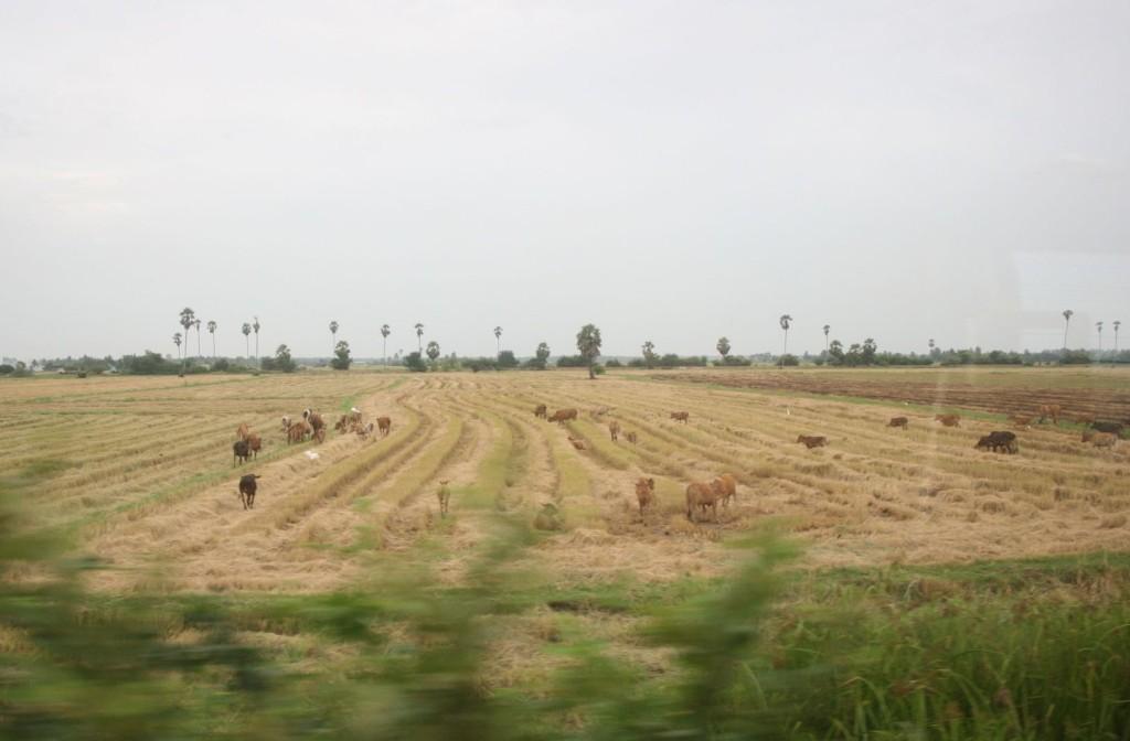 タイ側では、牛の放牧放牧をあちこちで見かけました。