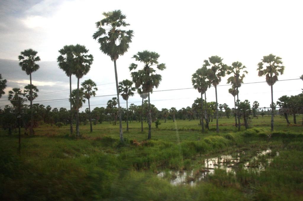 田んぼの中にココナツの木が点在しているのがタイらしいです