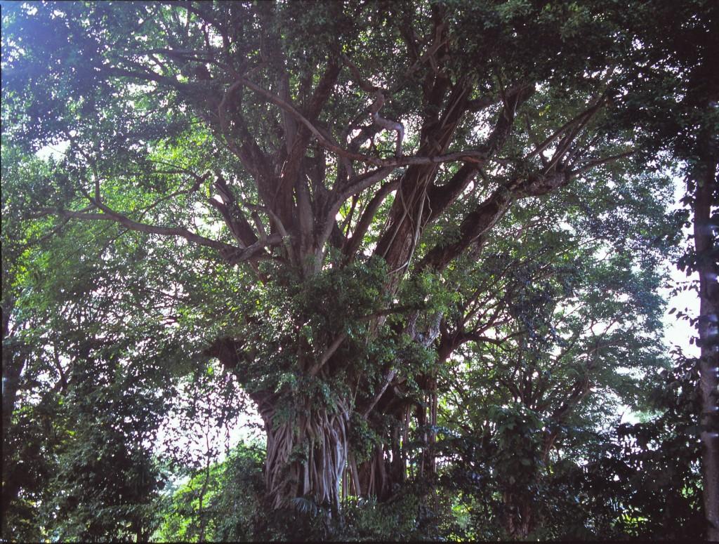 大きな木 ペナン big tree penang