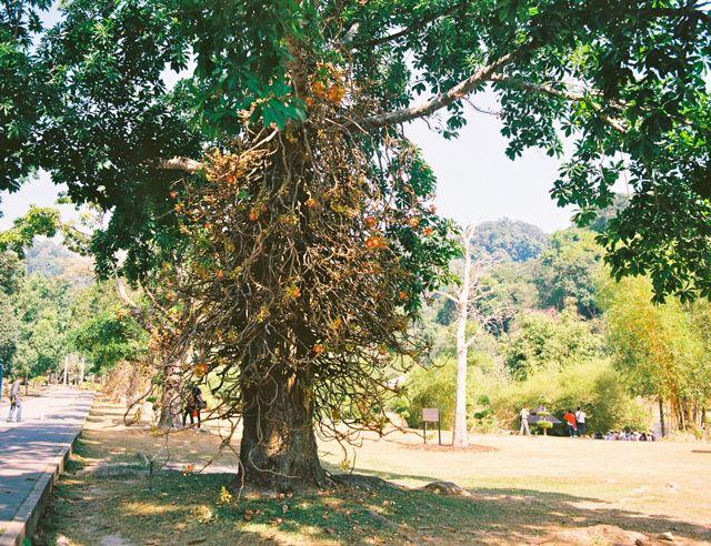 勝手に名付けて「人食い木」。Couroupita guianensis (cannonball tree).Penang Botanic Gardens