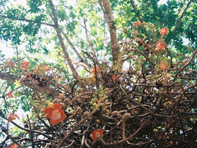 人食い植物のような木。Couroupita guianensis (cannonball tree), Penang Botanic Gardens.
