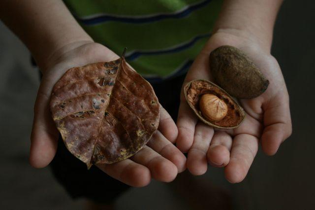 これがその葉と種。