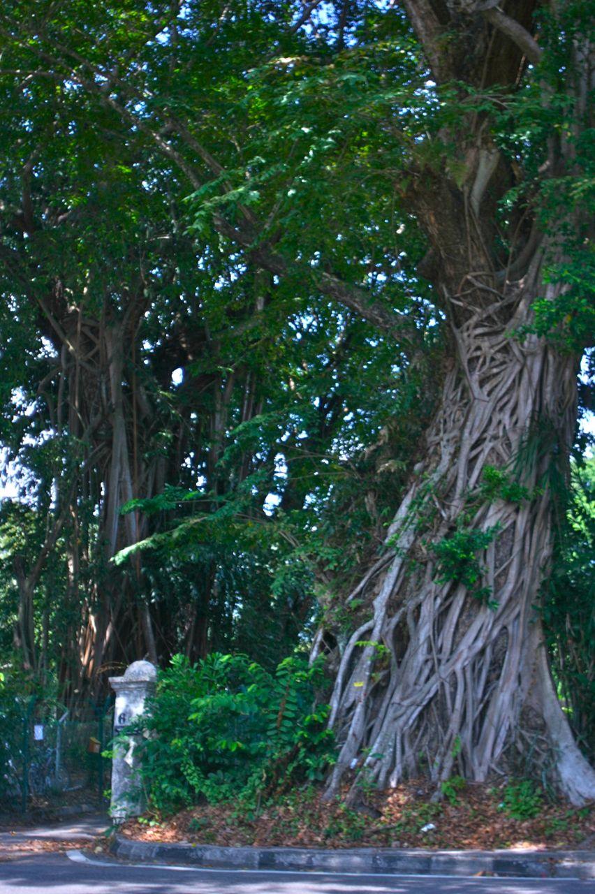 こんなおばけのような木が、道ばたに普通に生えているマレーシア。