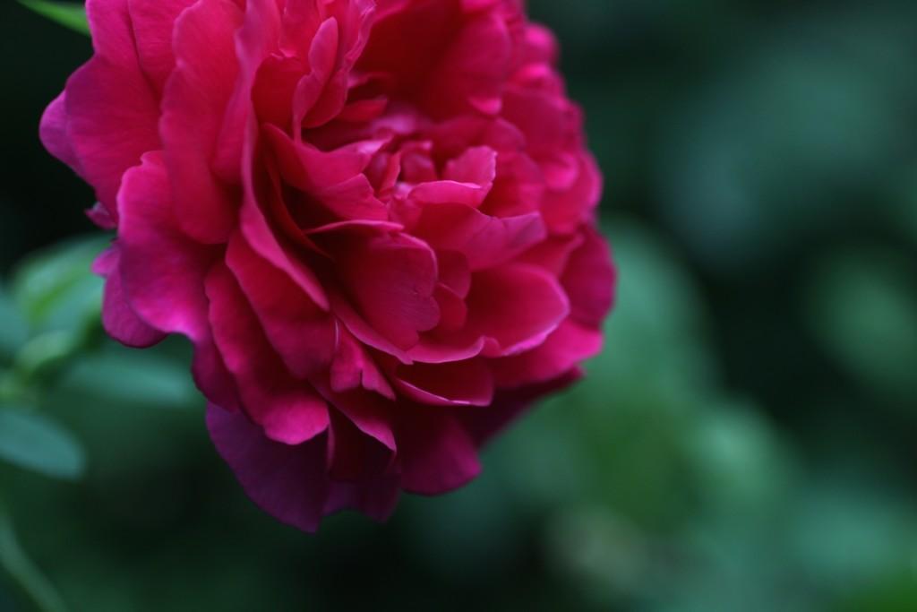 雨が降るようになり、秋のバラもポツポツ咲き始めています