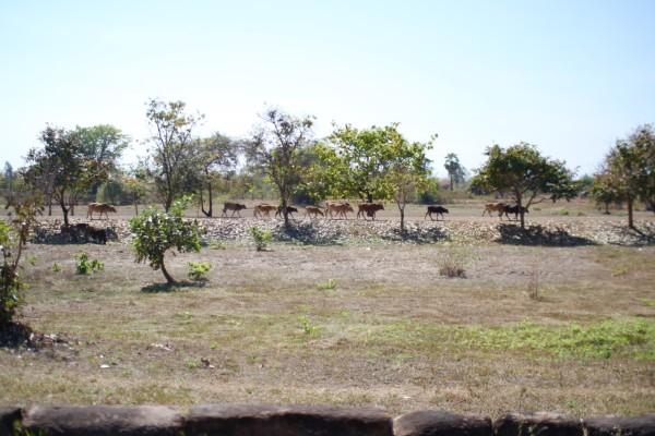 帰り道 牛の行進 Champasak, Laos