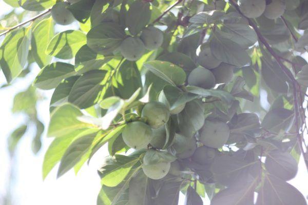 柿もこんなに大きく。柿渋を作りたいと思いながら、今年も機会を逃してしまいました。