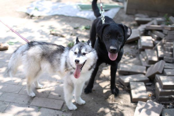 husky and Labrador