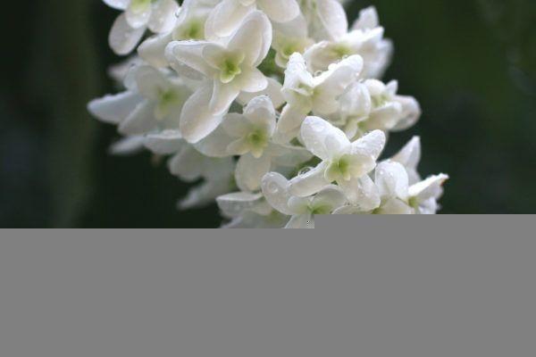 紫陽花 - 1 (2)