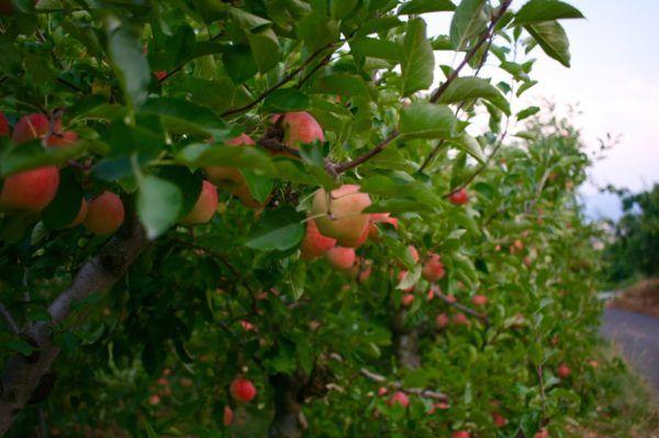 真夏に赤いりんごがなっているなんて。新しい品種のよう。