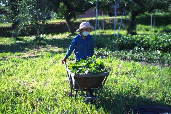 藍草の刈り取り。家族全員で行います。
