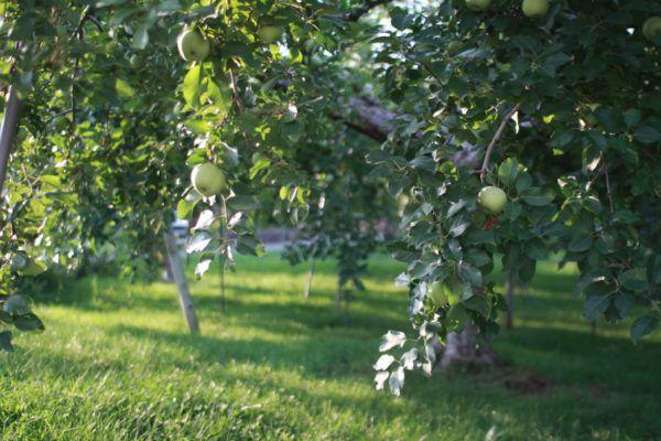 りんご畑のりんごも、目立つ大きさになってきました