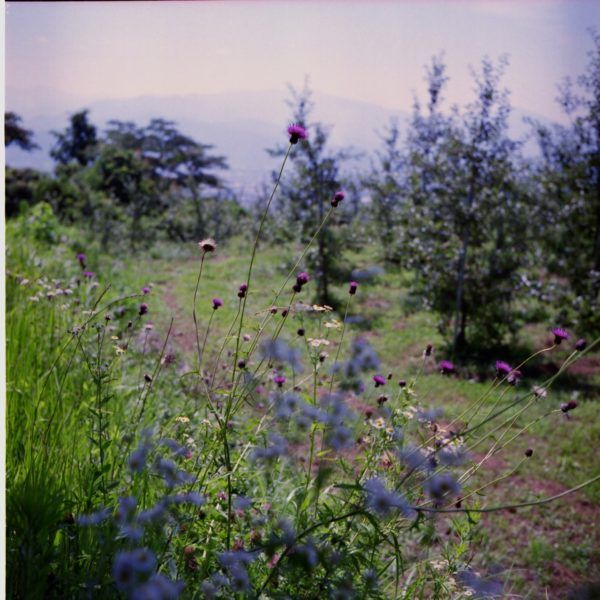 thistle あざみ July 2015 Nagano