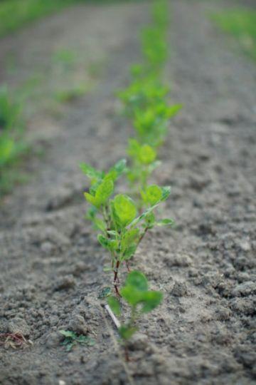 苗を藍畑に定植。水やりが大切です。