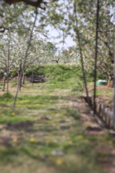 りんごの花 -